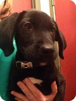 Labrador Retriever/Boxer Mix Puppy for adoption in House Springs, Missouri - Prince