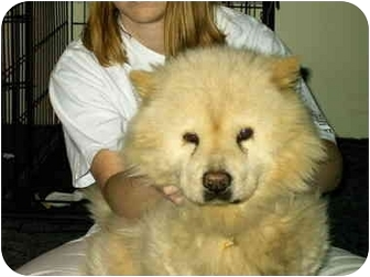 Chow Chow Dog for adoption in Lyman, South Carolina - Rodeo