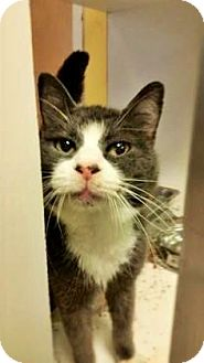 Domestic Shorthair Cat for adoption in Fort Smith, Arkansas - Agnes