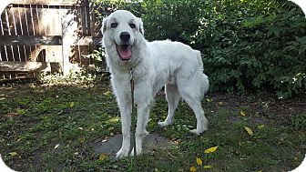 Great Pyrenees Dog for adoption in Duncanville, Texas - Martin