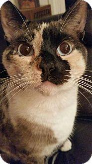 Siamese Cat for adoption in Sacramento, California - Freckles