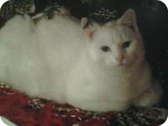 American Shorthair Cat for adoption in Bloomsburg, Pennsylvania - Yoshi
