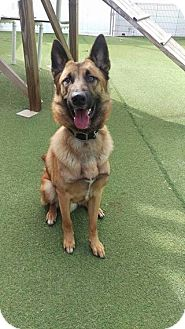 Belgian Malinois Dog for adoption in Cape Coral, Florida - Rambo