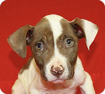 Pit Bull Terrier Mix Puppy for adoption in Jackson, Michigan - Leonardo