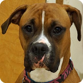 Boxer Mix Dog for adoption in Sprakers, New York - Lexi