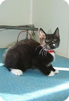 Domestic Shorthair Kitten for adoption in Englewood, Florida - Obie