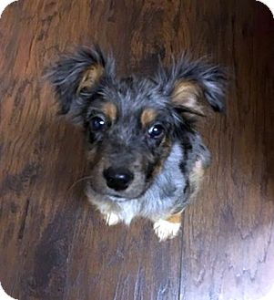 Australian Shepherd Mix Dog for adoption in Chattanooga, Tennessee - Sookie
