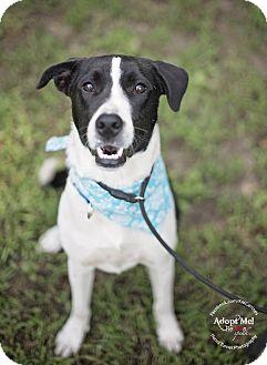 Border Collie/Labrador Retriever Mix Dog for adoption in Denver, Colorado - Simon