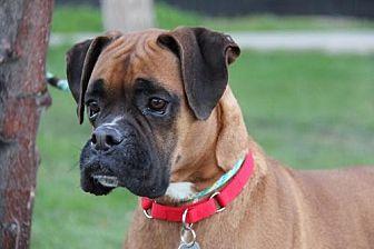 Boxer Dog for adoption in Phoenix, Arizona - Cowboy