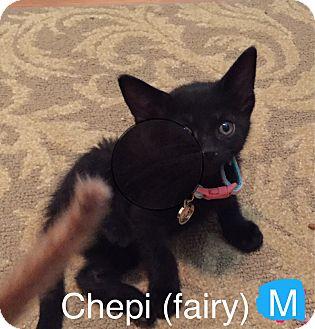 Domestic Shorthair Kitten for adoption in Glendale, Arizona - CHEPI (Fairy)
