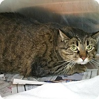 Domestic Shorthair Cat for adoption in Chicago, Illinois - Spike