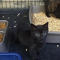 Domestic Longhair Kitten for adoption in Salisbury, North Carolina - Dominic