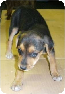 Beagle Mix Puppy for adoption in Paintsville, Kentucky - Skittles