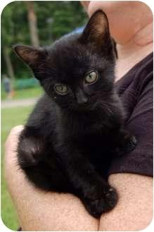 Bombay Kitten for adoption in Farmington, Michigan - Starla: H4TH, FREE TRANSPORT!