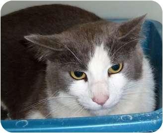 Domestic Shorthair Cat for adoption in Carmel, New York - Eddie
