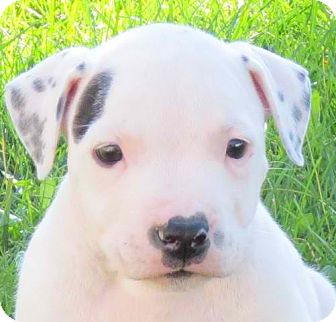 American Pit Bull Terrier Mix Puppy for adoption in Kalamazoo, Michigan - Thomas