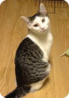 Polydactyl/Hemingway Kitten for adoption in Hyde Park, New York - Paws
