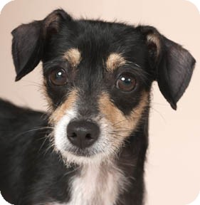 Terrier (Unknown Type, Small) Mix Dog for adoption in Chicago, Illinois - Rosie