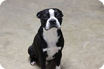 Boston Terrier Dog for adoption in Coventry, Rhode Island - Boston