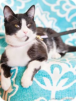 American Shorthair Cat for adoption in Palatine, Illinois - Panda Bear