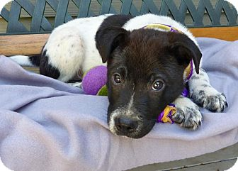 Border Collie Mix Puppy for adoption in Baton Rouge, Louisiana - Angus
