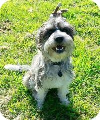 Schnauzer (Standard) Mix Dog for adoption in Allentown, Pennsylvania - Baxter