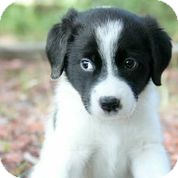 Collie/Corgi Mix Puppy for adoption in Austin, Texas - Triumph
