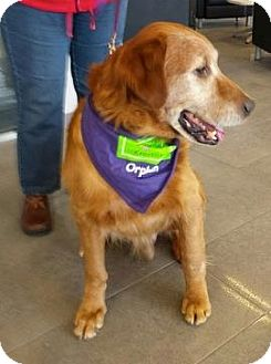Golden Retriever Dog for adoption in Knoxville, Tennessee - Vern