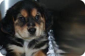 Spaniel (Unknown Type) Mix Puppy for adoption in Edwardsville, Illinois - Blackwidow
