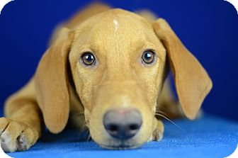 Hound (Unknown Type)/Terrier (Unknown Type, Medium) Mix Puppy for adoption in LAFAYETTE, Louisiana - PLUTO