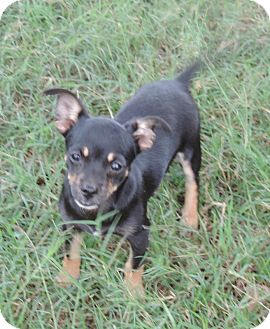 Chihuahua Puppy for adoption in Anderson, South Carolina - Bitsy
