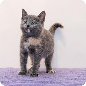 Domestic Shorthair Kitten for adoption in Houston, Texas - Gracie