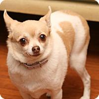 Adopt A Pet :: Pumpkin - Brant, ON