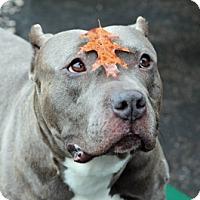 Adopt A Pet :: Bruno - Port Washington, NY