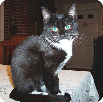 Domestic Shorthair Kitten for adoption in Wakefield, Massachusetts - Aurora