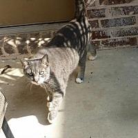 Adopt A Pet :: Jacob - Frisco, TX