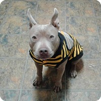Adopt A Pet :: Jenna (Pocket Pit) - Copperas Cove, TX