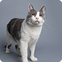 Domestic Shorthair Cat for adoption in Wilmington, Delaware - Trisha