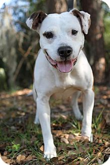 American Bulldog Mix Dog for adoption in Jacksonville, Florida - Candy