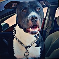 Adopt A Pet :: BamBam - Dana Point, CA