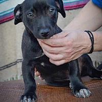 Adopt A Pet :: Socks W - Olympia, WA
