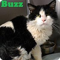 Adopt A Pet :: Buzz - Las Vegas, NV