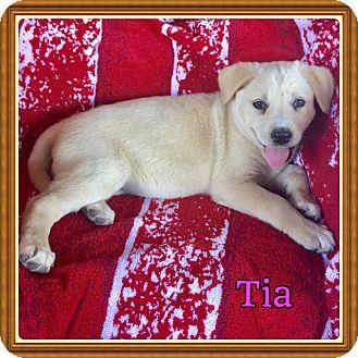 Shepherd (Unknown Type)/Labrador Retriever Mix Puppy for adoption in Harrisburg, Pennsylvania - Tia