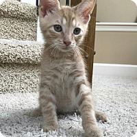 Domestic Shorthair Kitten for adoption in Land O Lakes, Florida - Peanut