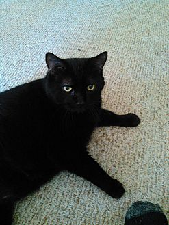 Domestic Mediumhair Cat for adoption in Madison, Wisconsin - Puggsley