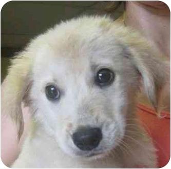 Golden Retriever/Labrador Retriever Mix Puppy for adoption in Upper Marlboro, Maryland - PUPPY