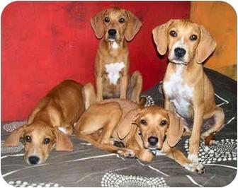Bloodhound/Vizsla Mix Puppy for adoption in Latrobe, Pennsylvania - 1 Bloodhound Mix Girl