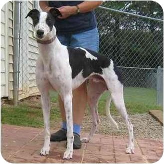 Greyhound Dog for adoption in Oak Ridge, North Carolina - Casper