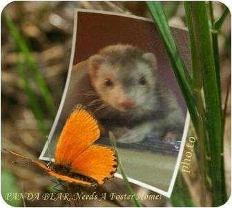 Ferret for adoption in Las Vegas, Nevada - PANDA BEAR
