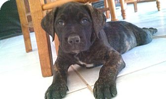 Bullmastiff/American Pit Bull Terrier Mix Puppy for adoption in Simi Valley, California - Mastiff Puppies